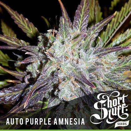 shortstuff seeds Auto auto purple amnesia feminised
