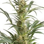 Blue Amnesia XXL Auto Feminised Seeds