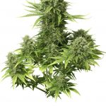 StarRyder Auto-flowering Feminised Seeds