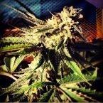 710 Genetics Blue Chemdawg Feminised Seeds