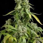 Dinafem Blue Cheese Auto Feminised Seeds