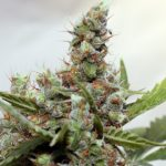 CBD Blue Shark Feminised Seeds