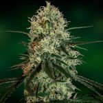 Chronic Thunder Feminised Seeds