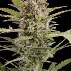 Dinafem Critical + 2.0 Auto Feminised Seeds