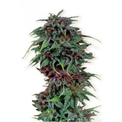 Dutch Passion Durban Poison Feminised Seeds