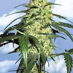 Dutch Delight Feminised Seeds