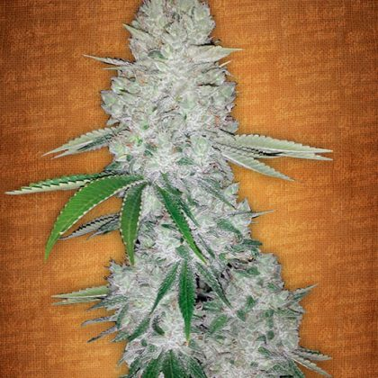 Fast Buds Gorilla Glue auto feminised seeds