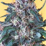 Holland's Hope Feminised Seeds