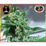 The Kali Feminised Seeds