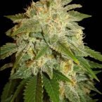 Soma Seeds Kushadelic Feminised Seeds