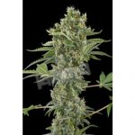 Moby Dick Automatic Feminised Seeds
