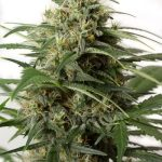 Moby Dick XXL Autoflowering Feminised Seeds