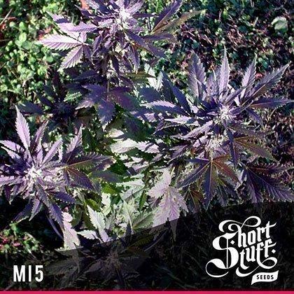 shortstuff seeds Mi5 feminised