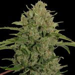 Triple Cheese Feminised Seeds