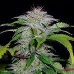 710 Genetics White Candy Auto Feminised Seeds