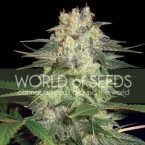 World of Seeds Afghan Kush Ryder Autoflowering Feminised Seeds