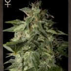 Strain Hunters Afgooey Feminised Seeds