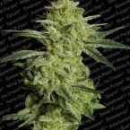 Paradise Seeds Allkush feminised