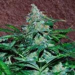 Amnesia Autoflowering Feminised Seeds