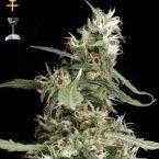 Greenhouse Seed Co. Arjan's Ultra Haze #1 Feminised Seeds