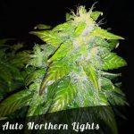 Auto Northern Lights female seeds