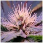 Nirvana Seeds Auto Blue Mystic Feminised Seeds