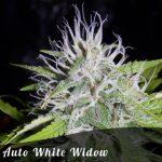 Auto White Widow female seeds