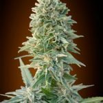 Auto Jack Herer Feminised seeds