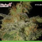 Dr Krippling Seeds Incredible Bulk Auto