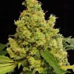 Dinafem Blue Hash Feminised Seeds