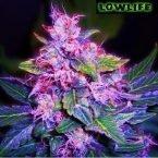 Lowlife seeds Auto Blueberry Regular