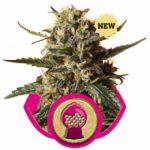 Bubblegum XL Feminised Seeds