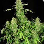 CBD Chronic female seeds