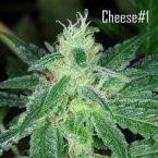 Seedsman Cheese Feminised Seeds