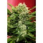 Seedsman Chronic Ryder Autoflowering Feminised Seeds