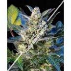 Seedsman Diesel Ryder Autoflowering Feminised Seeds