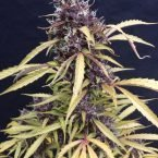 Seedsman Easy Ryder Autoflowering Feminised Seeds