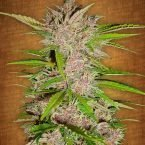Fast Buds Fastberry feminised seeds
