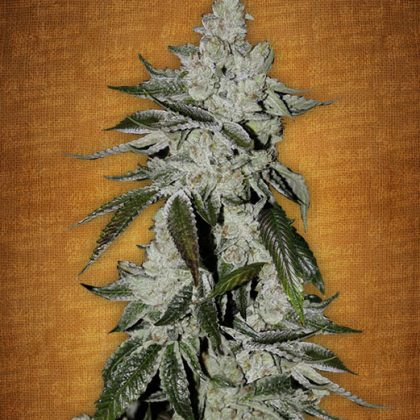 Fast Buds Girl scout cookies feminised seeds