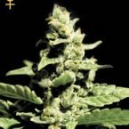 Greenhouse Seed Co. Green-O-Matic Feminised Seeds