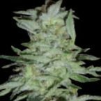 World of Seeds High Tension Feminised Seeds