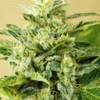 Advanced Seeds Auto Low Girl Feminised seeds