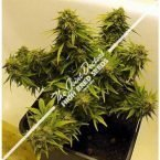 Seedsman Joint Doctor's Lowryder Mix Autoflowering Regular Seeds