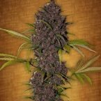 Fast Buds LSD 25 feminised seeds