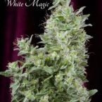 Mandala seeds White Magic Feminised