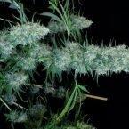 Serious Seeds Motavation regular seeds