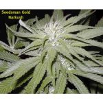 Narkush Regular Seeds
