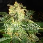 World of Seeds Pakistan Ryder Autoflowering Feminised Seeds