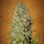 Fast Buds Pineapple Express feminised seeds