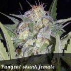 Bulk Seeds Pungent skunk female seeds